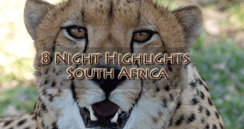 Cheetah new 351x185 - 8 Night Highlights South Africa, Kwazulu Natal, Safari and World Heritage Site