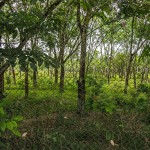 Rubber plantation 150x150 - Cinnamon Grove