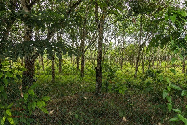 Rubber plantation - Cinnamon Grove