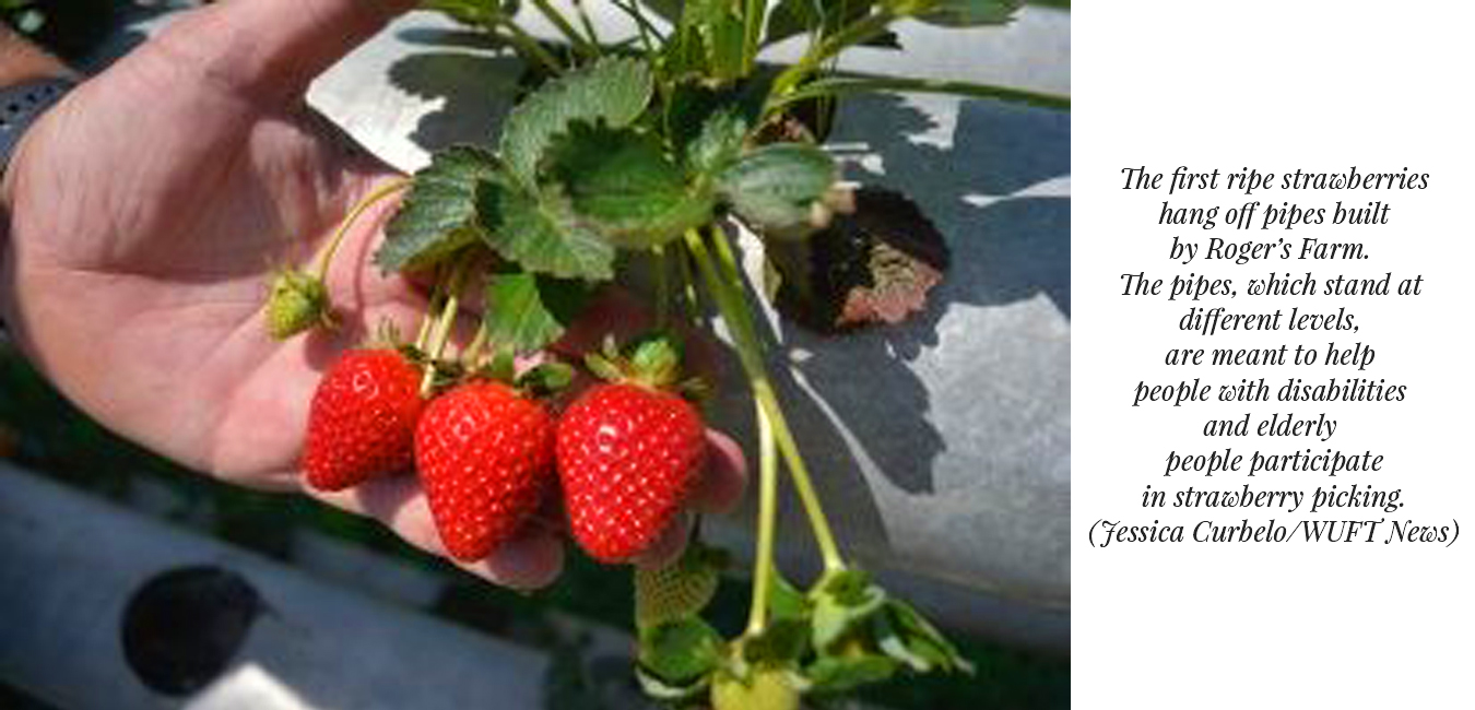 The first ripe strawberries hang off pipes built by Roger's Farm - Wheelchair Accessible Farming and Gardening